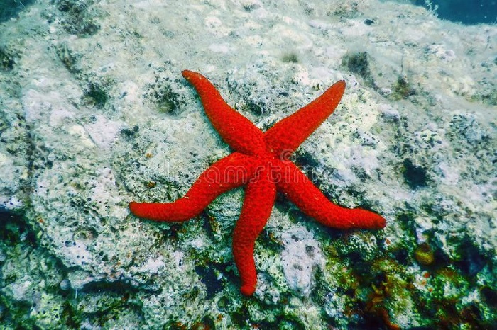 can you eat starfish battersby 1