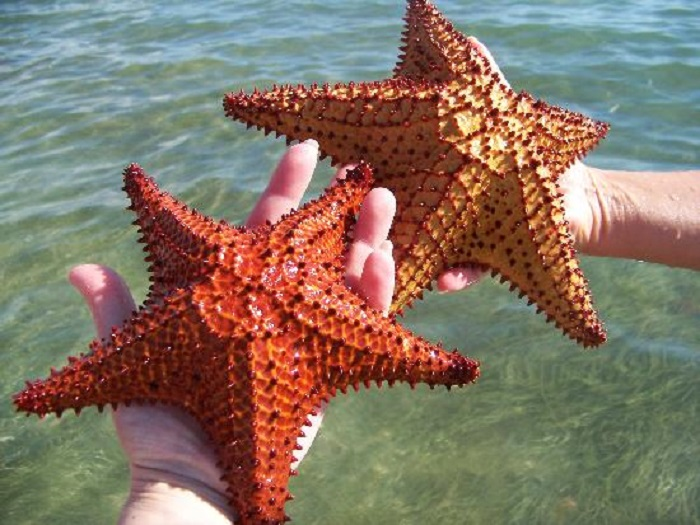 can you eat starfish